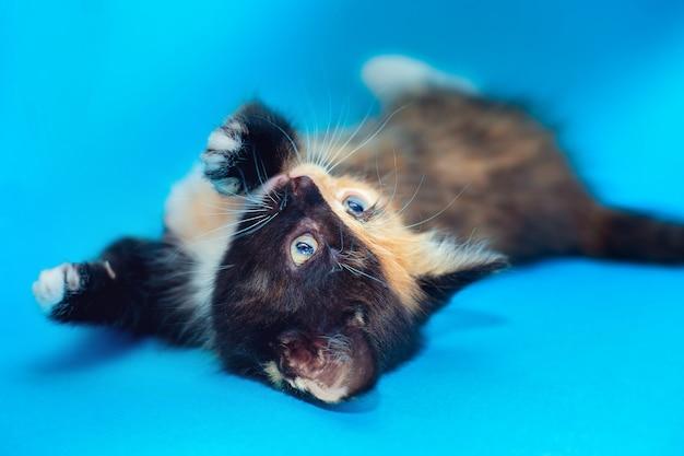 Um gatinho fofo de dois tons com uma coloração incomum rara. gato de duas caras.