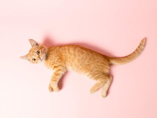 Um gatinho fofo vermelho sobre um fundo rosa. animal de estimação lúdico e engraçado, em branco para publicidade, cartaz, venda, clínica veterinária. copie o espaço.