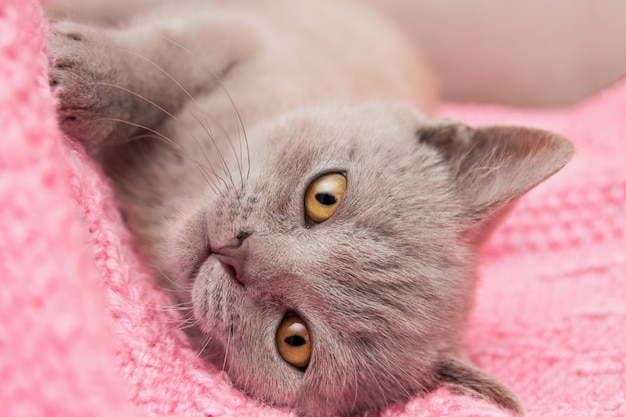 Um gatinho reto britânico bege cinzento com os olhos amarelos grandes está encontrando-se em um cobertor cor-de-rosa.