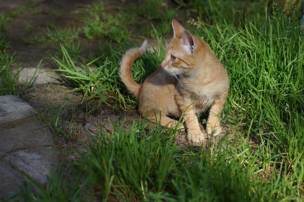 Um gatinho ruivo senta-se em uma clareira verde e desvia o olhar.