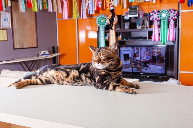 Um gato bege leopardo marrom deitado em uma mesa bege