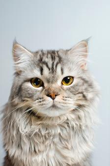 Um gato bonito e fofo primata escocês olha para a câmera em um isolador branco. lugar para texto