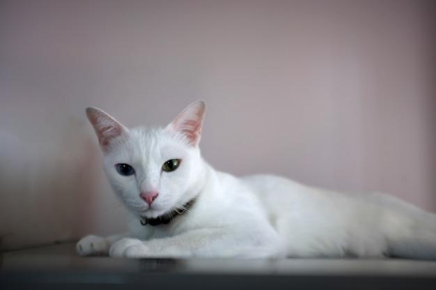 Um gato branco com dois olhos de cores diferentes como azul e amarelo