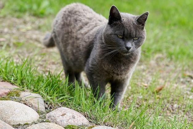 Um gato cinza caminhando na grama verde em um dia de verão