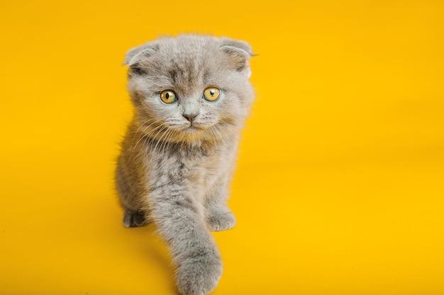 Um gato cinza com belos olhos em um amarelo