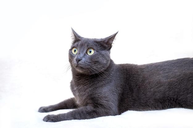 Um gato cinza engraçado e fofo está deitado com as orelhas achatadas e os olhos surpresos com um fundo claro