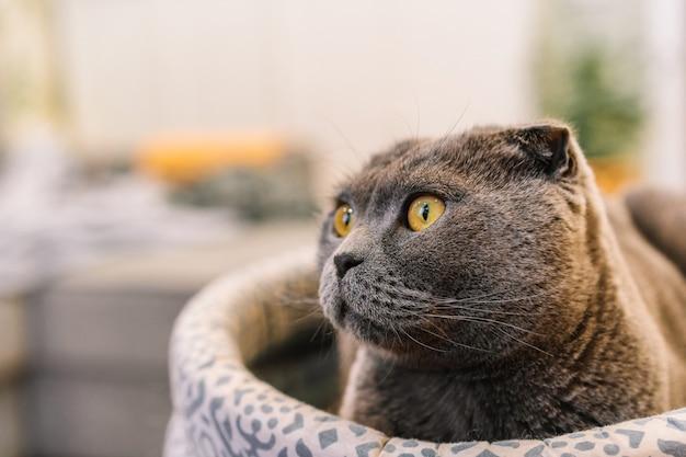 Um gato cinza scottish fold com olhos amarelos sentado em uma cama macia em um interior moderno