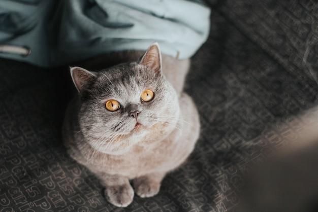 Um gato cinzento atrevido com olhos amarelos jaz no sofá.