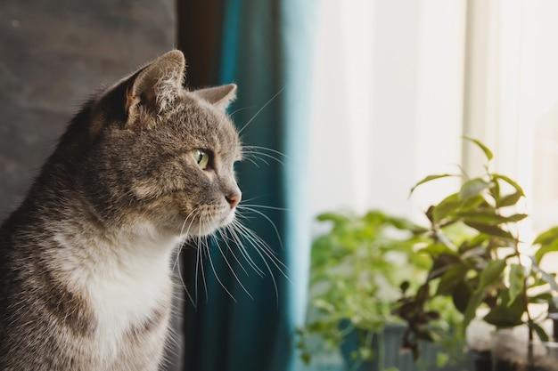 Um gato cinzento está sentado ao lado da janela. o gato está olhando pela janela.
