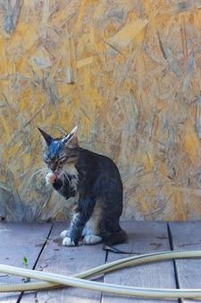 Um gato cinzento, jovem, rústico, molhado após o banho lambe a pata