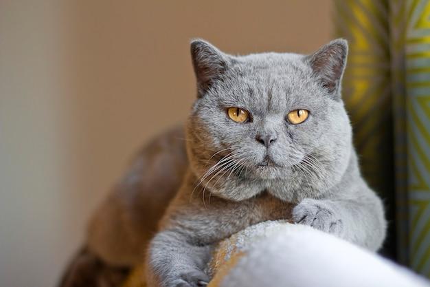 Um gato com bochechas grandes. gato atrevido um gato com uma cara inteligente.