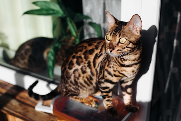 Um gato de bengala está sentado no interior. o gato dourado. gato leopardo. leopardo doméstico. black spotter tabby