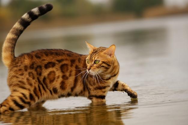 Um gato de bengala se banha em um rio em água fria.