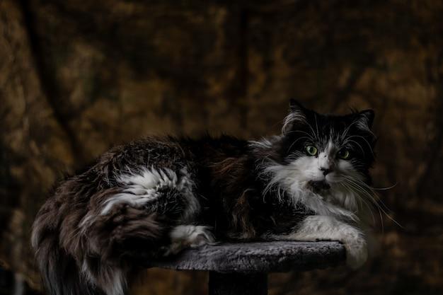 Um gato de cabelos compridos preto e branco deitado sobre uma pedra orgulhosa de si