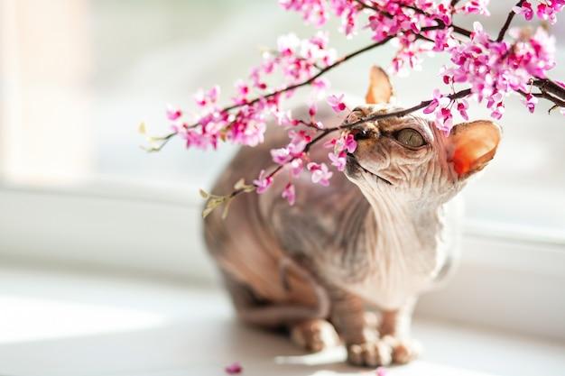 Um gato de esfinge com pedigree bonito senta-se em uma janela com flores cor de rosa.