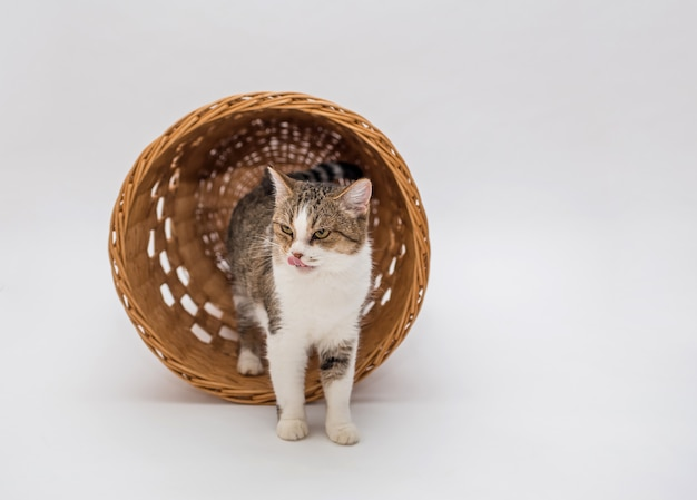 Um gato de gato malhado em um espaço em branco em uma cesta. um gato adulto sai da cesta. olhando para o lado. copie o espaço
