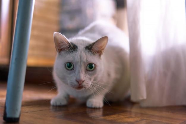 Um gato de olhos verdes com cortinas de um lado