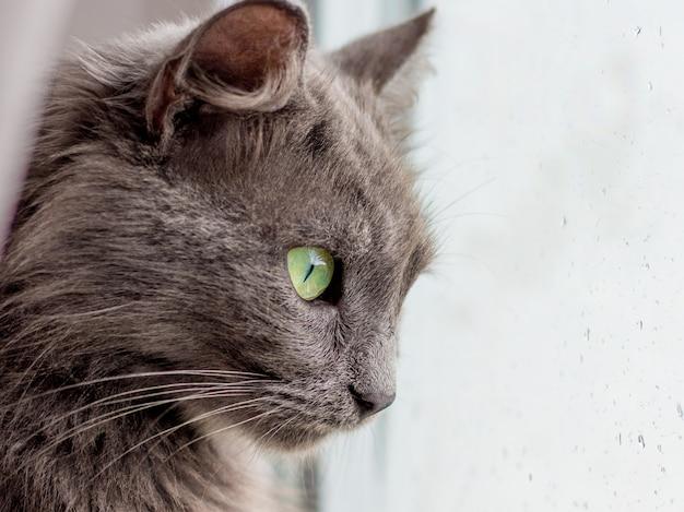 Um gato de raça pura cinza olha para a janela enquanto chove. gotas de chuva no vidro da janela