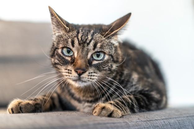 Um gato doméstico cinzento e branco com olhos azuis em um sofá bonito em uma casa. melhor amigo do homem, melhor animal, gato precioso