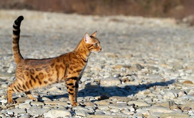 Um gato doméstico fica em solo rochoso na selva.