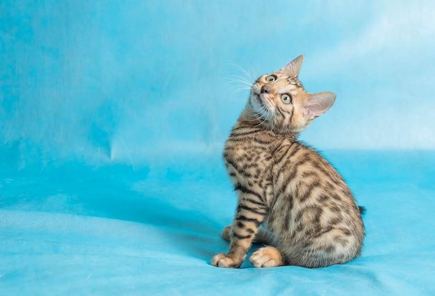 Um gato doméstico fofo em lençóis azul celeste olhando para cima com um olhar engraçado