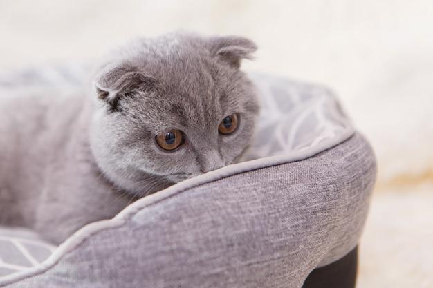 Um gato escocês lopeared está descansando em sua cesta um animal em um fundo branco entretenimento para