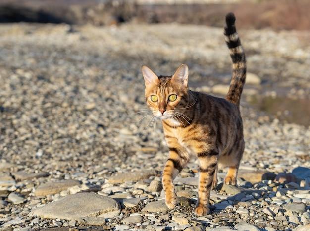 Um gato malhado caminha em uma área rochosa ao ar livre.