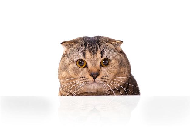 Um gato marrom scottish fold com olhos amarelos espiando por trás de uma mesa branca