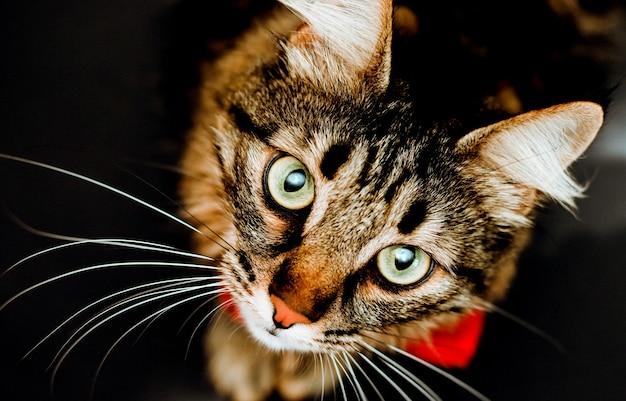 Um gato peludo e malhado olha para a câmera. uma visão de close-up de um gato em um fundo preto. retrato de um animal de estimação.