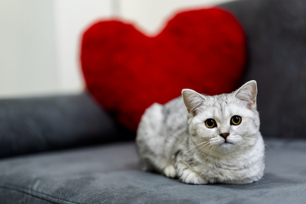 Um gato pequeno bonito, dobra de scottish malhado de prata do cabelo curto