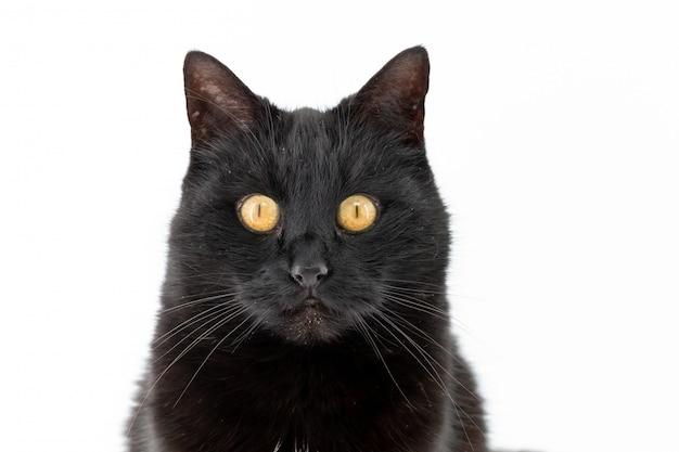 Um gato preto bonito posa em um branco isolado