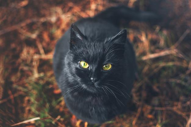 Um gato preto olhando com olhos amarelos brilhantes.