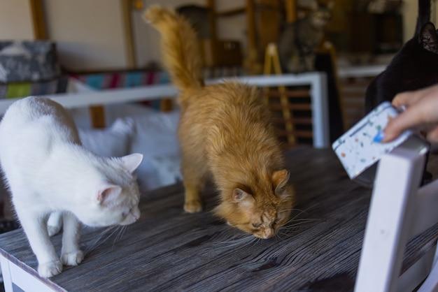 Um gato ruivo bonito está sentado em uma mesa branca em uma cadeira branca na frente de um pote de barro e esperando por uma refeição.