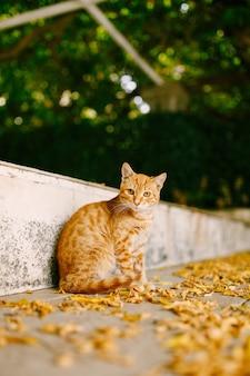 Um gato ruivo fofo está sentado na estrada com folhas amarelas no meio-fio