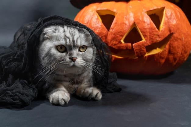 Um gato scottish fold de raça pura com véu preto sentado contra o fundo de jack o lantern.