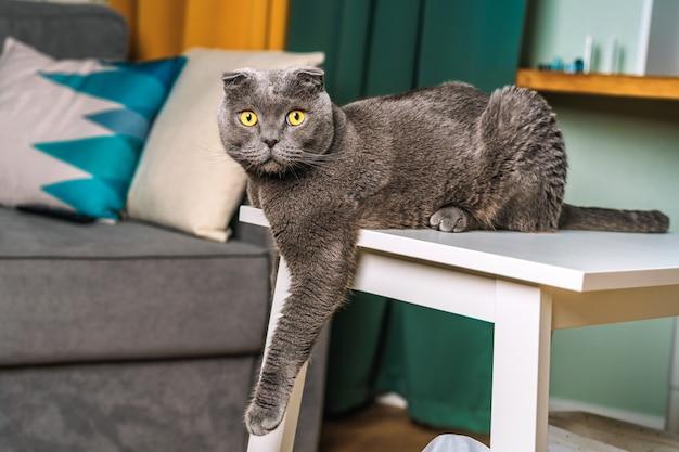 Um gato scottish fold engraçado sentado em um banco de madeira em uma sala de estar moderna