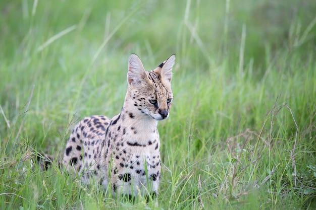 Um gato serval nas pastagens da savana