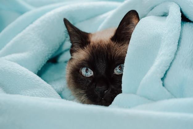 Um gato siamês dentro de um cobertor azul olhando para a câmera com curiosidade