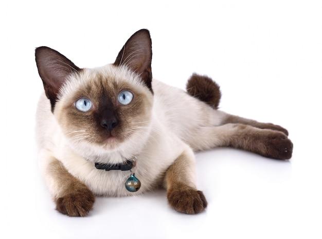 Um gato tailandês é um gato siamês tradicional ou de estilo antigo