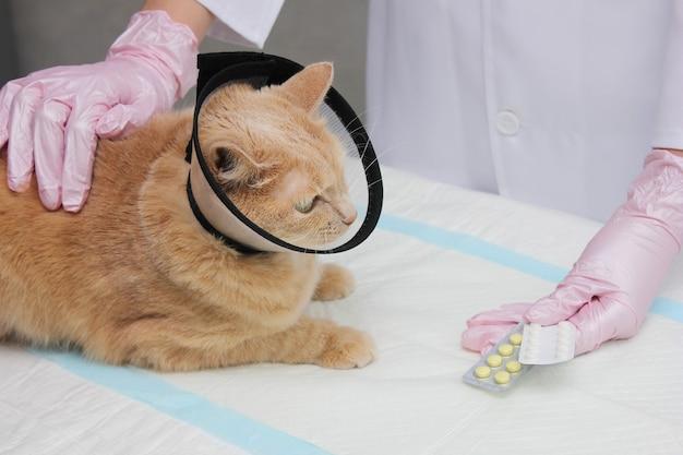 Um gato vermelho em uma coleira protetora no veterinário. exame e tratamento de animais de estimação.