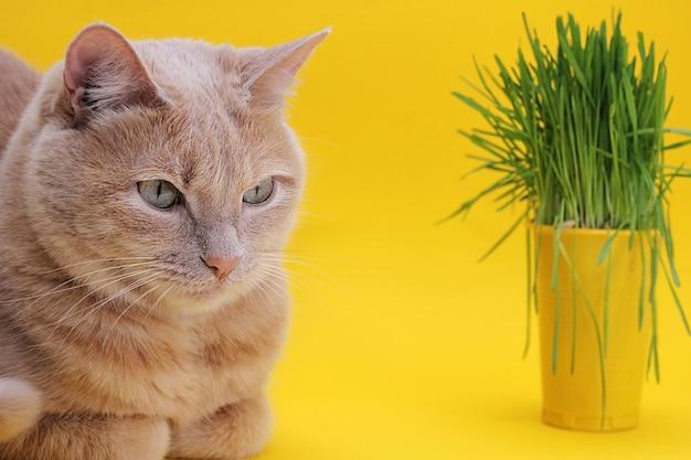 Um gato vermelho encontra-se em um fundo amarelo ao lado de um copo de plástico amarelo com aveia germinada. grama verde na dieta de gatos.