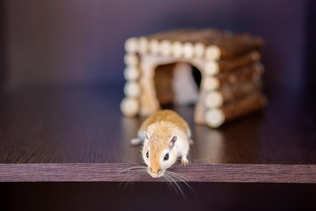 Um gerbil é executado em uma prateleira no contexto de uma casa de madeira. roedor de bigode vermelho com bigode longo