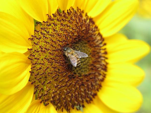 Um girassol amarelo florescendo e uma abelha