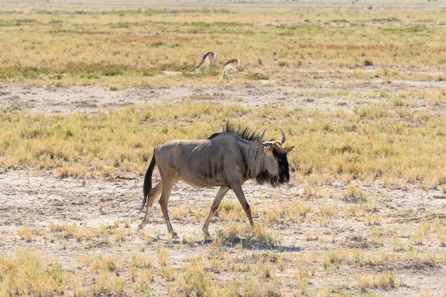 Um gnu azul no poço de água, okaukuejo, parque nacional de etosha, namíbia
