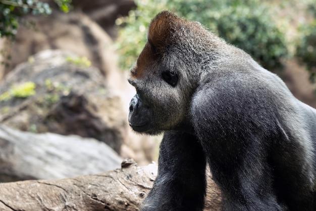Um gorila das planícies ocidentais com expressão carrancuda