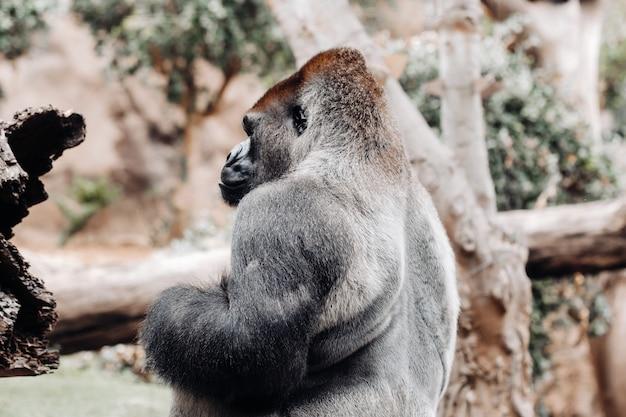 Um gorila das planícies ocidentais com uma expressão carrancuda. o gorila olha para mim