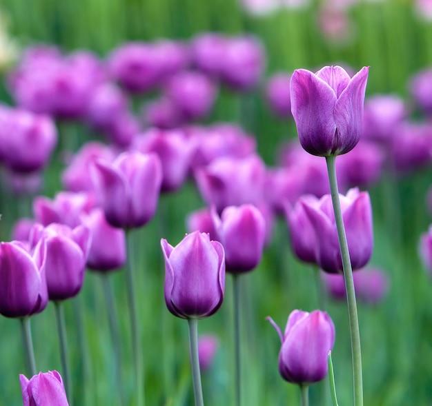 Um gramado com tulipas violetas, uma flor em foco