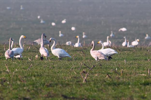 Um grande acúmulo de cisne bravo (cygnus cygnus) no inverno, no campo de trigo de inverno