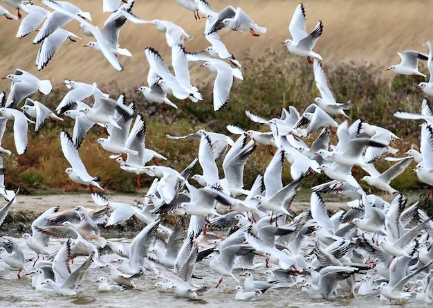 Um grande bando de gaivotas de cabeça preta em voo