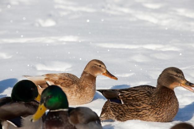 Um grande bando de patos que ficou para o inverno na europa, a estação fria com geadas e neve, patos sentam na neve